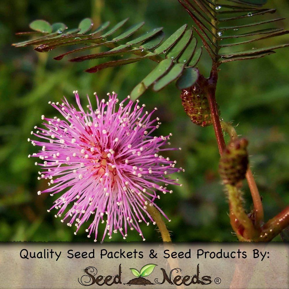 100 Mimosa Pudica Seeds to Amaze Kids